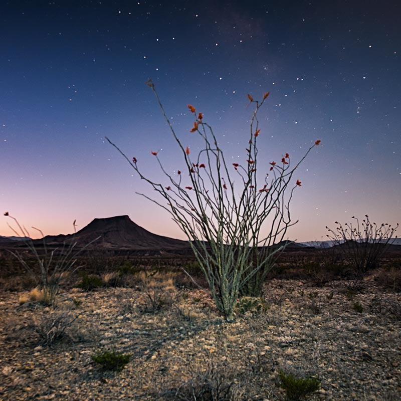 Ocotillo and Stars
