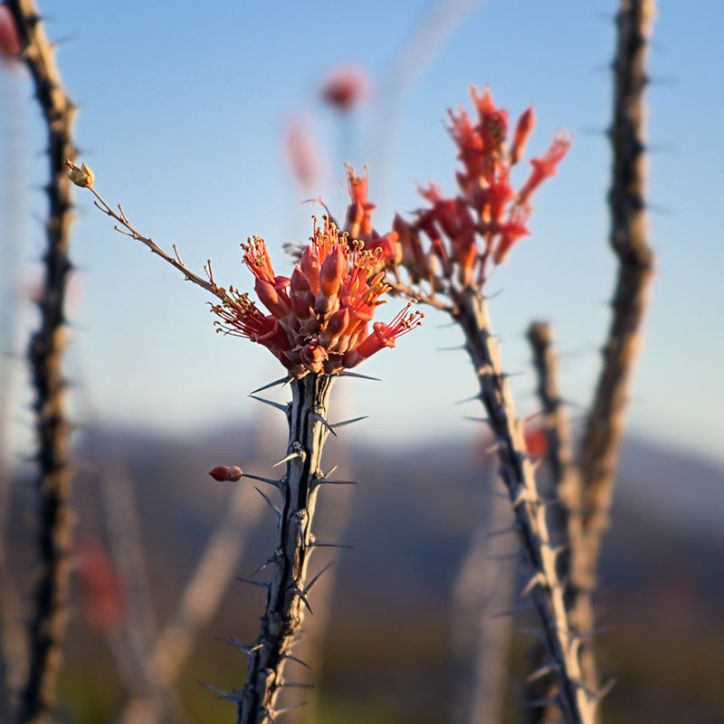 Ocotillo Blossoms - Big Bend National Park