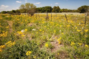 Roadside wildflowers - Texas Hill Country