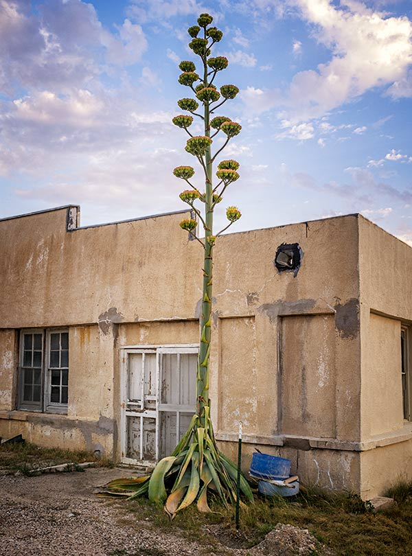 Agave in Bloom - Dryden, Texas